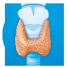 Glanda tiroidă de dimensiuni normale